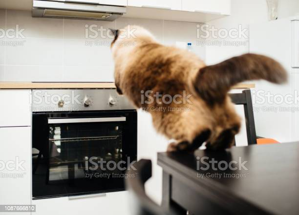 Cat jumping in kitchen from table to counter picture id1087666810?b=1&k=6&m=1087666810&s=612x612&h=b5cu3hd0o3z1eux6p7xwekz1xwym4 ajukcng6iehmm=