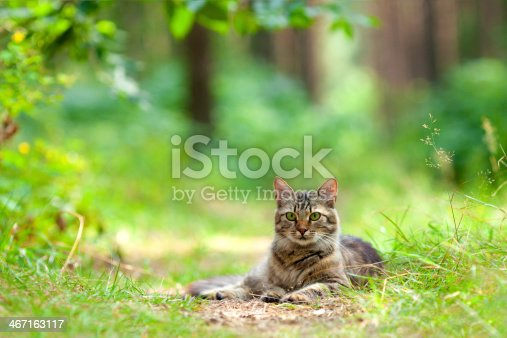 Cat lays on a footpath in the woods
