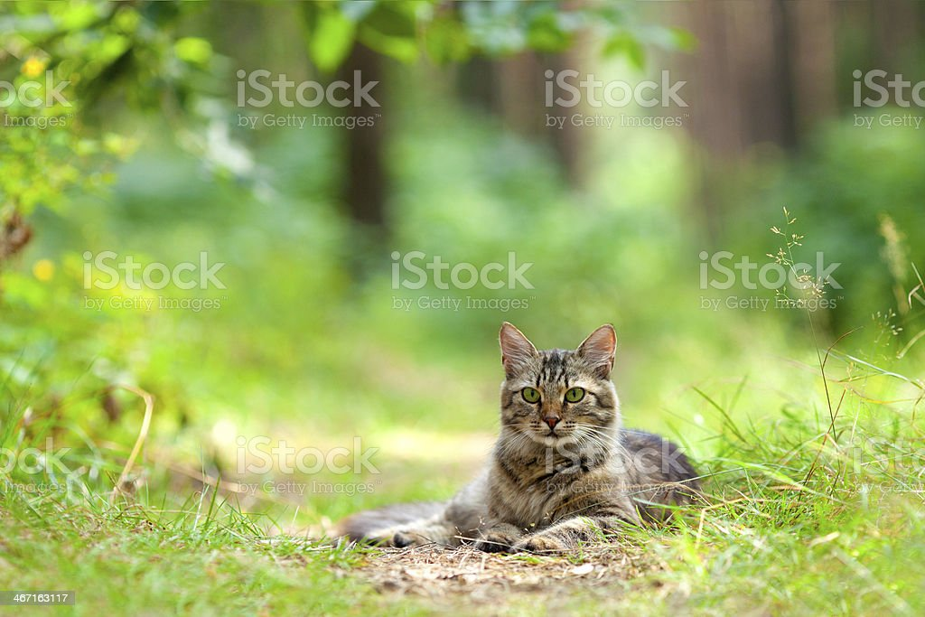 Katze liegt auf dem Weg im Wald – Foto