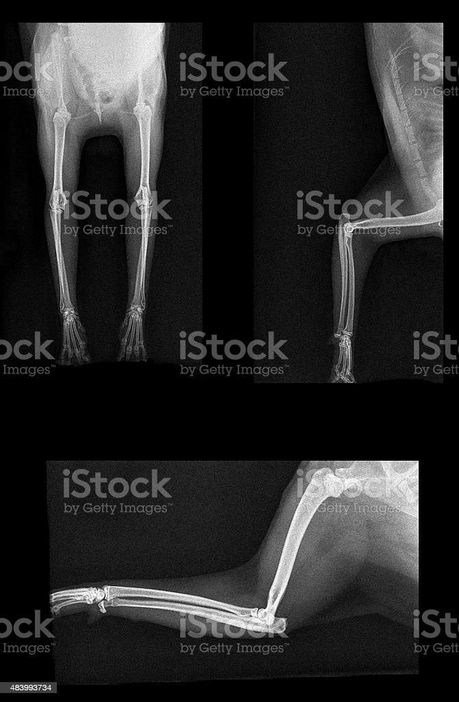 Cat leg X-ray stock photo