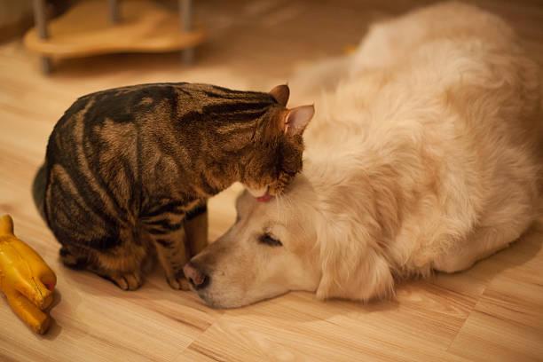 Cat licks dog laying on hardwood floor picture id181219338?b=1&k=6&m=181219338&s=612x612&w=0&h=vxnzcsivhxg07uxxbf5ls fcatzzxdeeem6hhzzbo k=