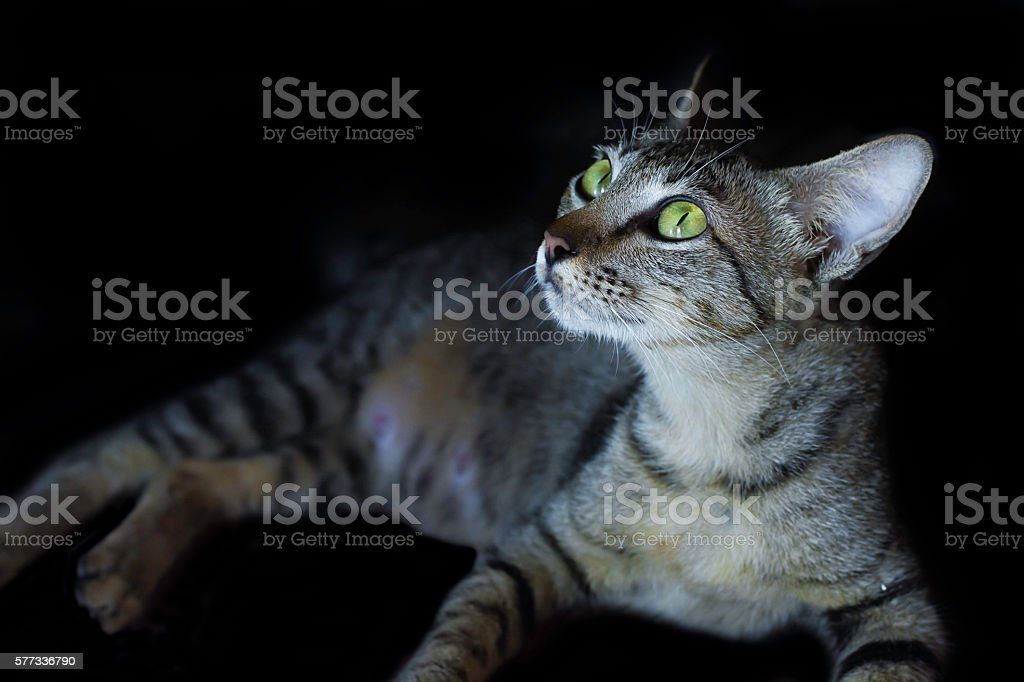 cat looking and black background stock photo
