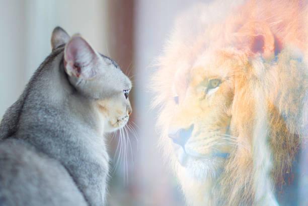 cat looking at mirror and sees itself as a lion. self esteem or desire concept. - postawa zdjęcia i obrazy z banku zdjęć
