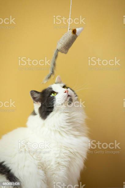 Cat looking at toy mouse on string picture id680693406?b=1&k=6&m=680693406&s=612x612&h=kbr3 5jv2avujg5zxbddyylvuvi03cmmkutvi5rb4oa=