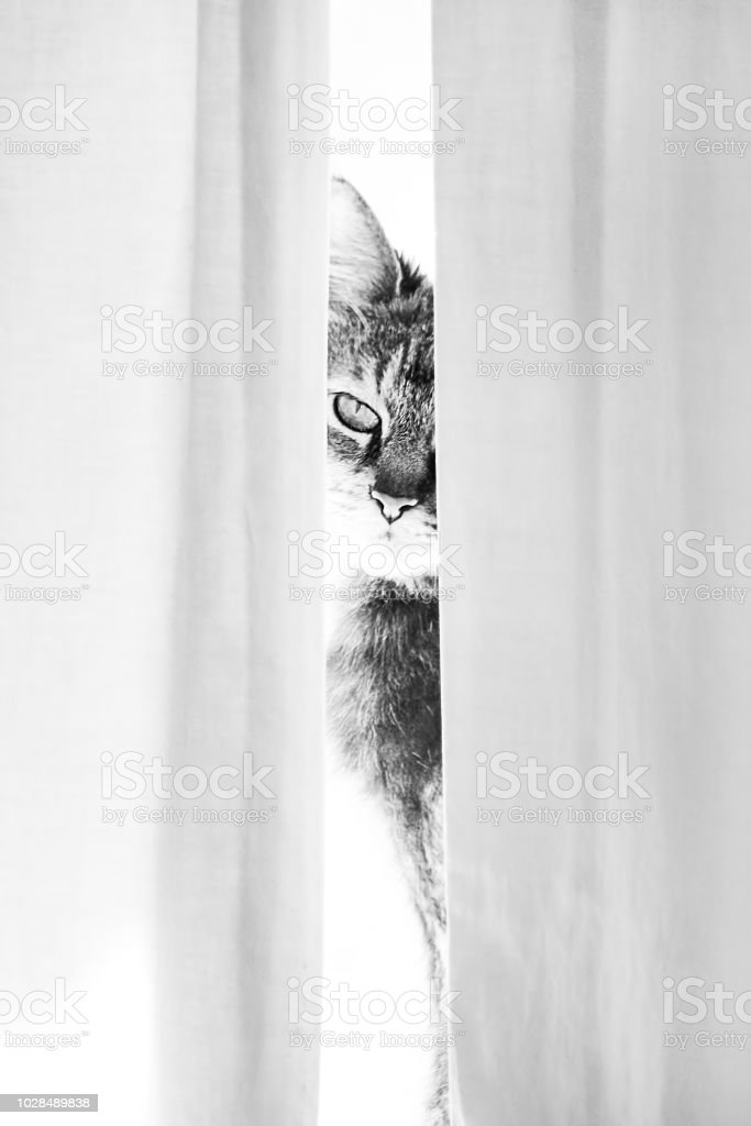 cat looking behind the curtain stock photo