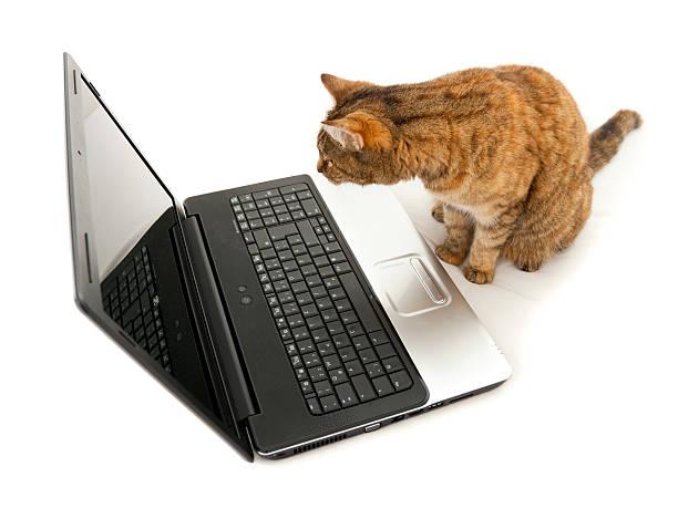 katze blick in eine laptop bildschirm-surfen im internet - suche katze stock-fotos und bilder