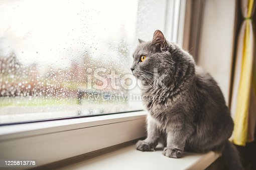 Four years old Cat looking out on a rainy day