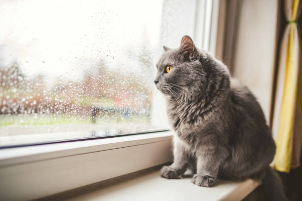 Cat looking out on a rainy day stock photo