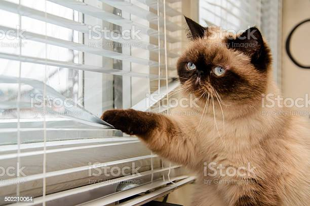 Cat looking outside through window blinds picture id502210064?b=1&k=6&m=502210064&s=612x612&h=djv55hfoqllbd3x8qd conezt vhrbdfzjkas9ze01g=