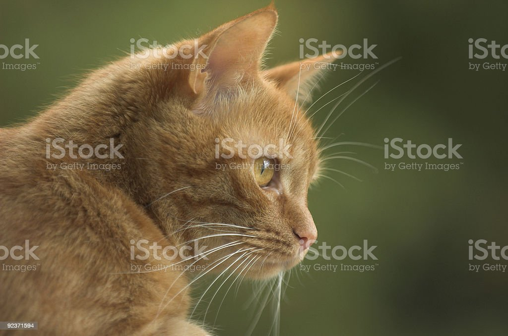 Cat looking royalty-free stock photo