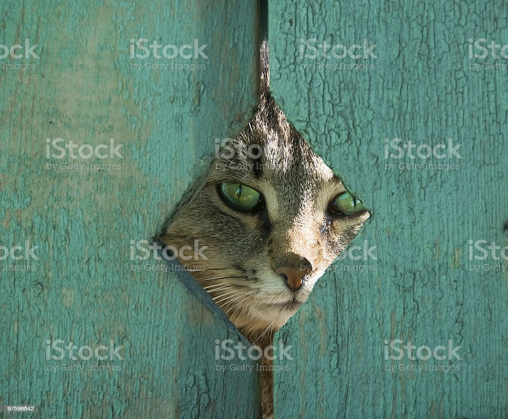 A cat looking through a hole in a blue fence  royalty-free stock photo