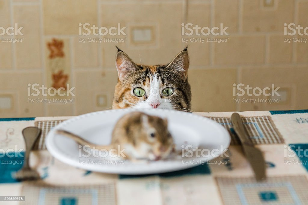 Cat looking to little gerbil mouse on the table before stock photo
