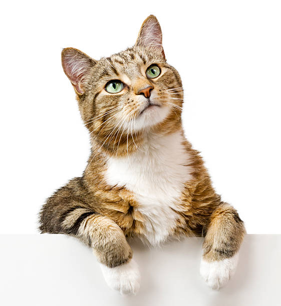 Cat looking up above white banner stock photo