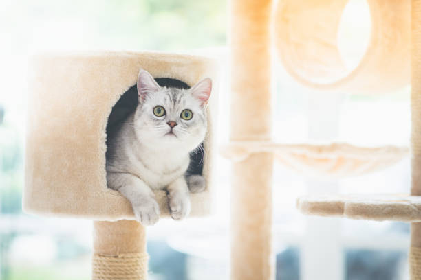 cat looking up on cat tower stock photo