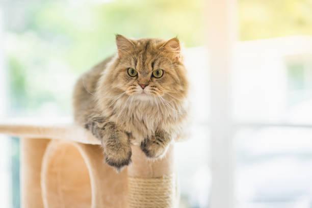 Cat looking up on cat tower picture id656103580?b=1&k=6&m=656103580&s=612x612&w=0&h=jm9yvgtshcfwghukvgrusp99edcp3vd3opknnuwq0em=