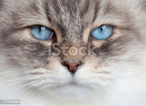 sibirian cat closeup, looking into camera- heart light reflection in blue eyes