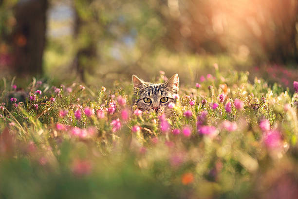 Cat lurking in the bushes stock photo