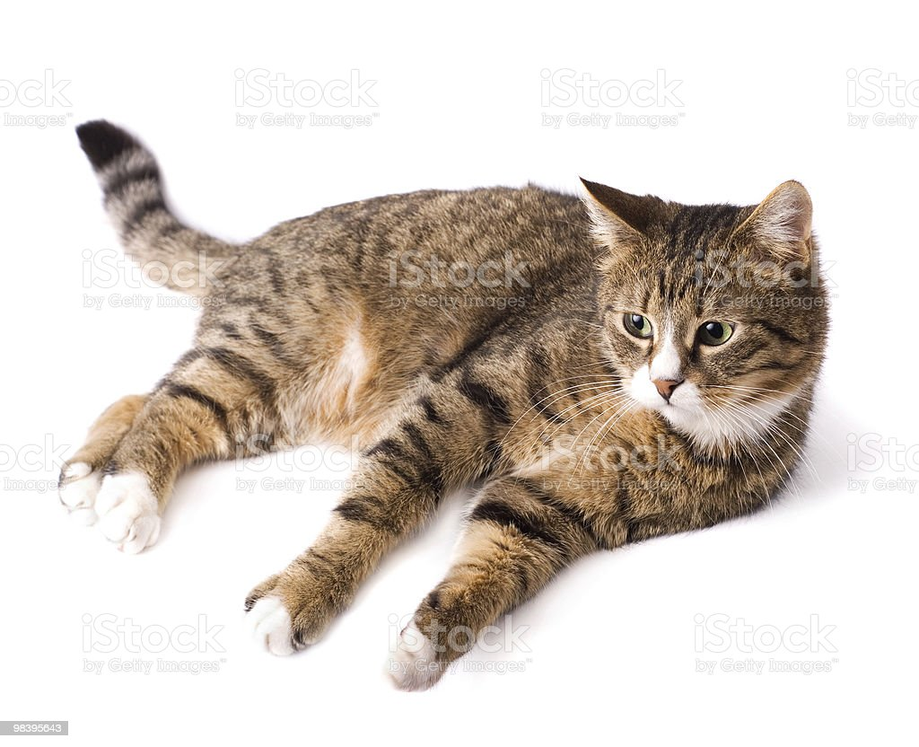 Cat lying down and looking royalty-free stock photo