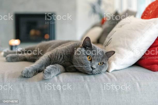 Cat lying down on a sofa picture id1043748292?b=1&k=6&m=1043748292&s=612x612&h=n58  wipchgpenfvgzg1redxvf4apaka63d9h uh4ue=