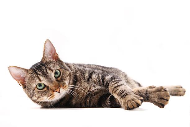 cat lying down - reclining stock photos and pictures