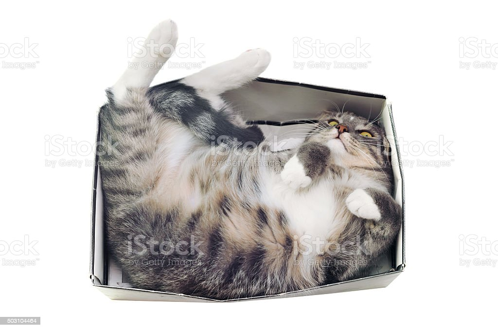 cat lying in box on white background stock photo