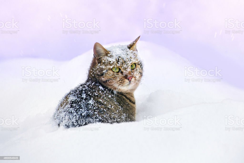 Cat lying in snow stock photo
