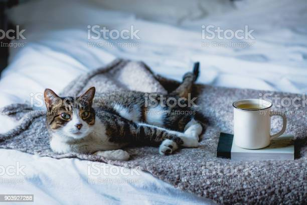 Cat lying on a bed next to a cup of coffee picture id903927288?b=1&k=6&m=903927288&s=612x612&h=xcojelzqcfndzaygx e6x6ghytdadvlza3wlr4lpoie=