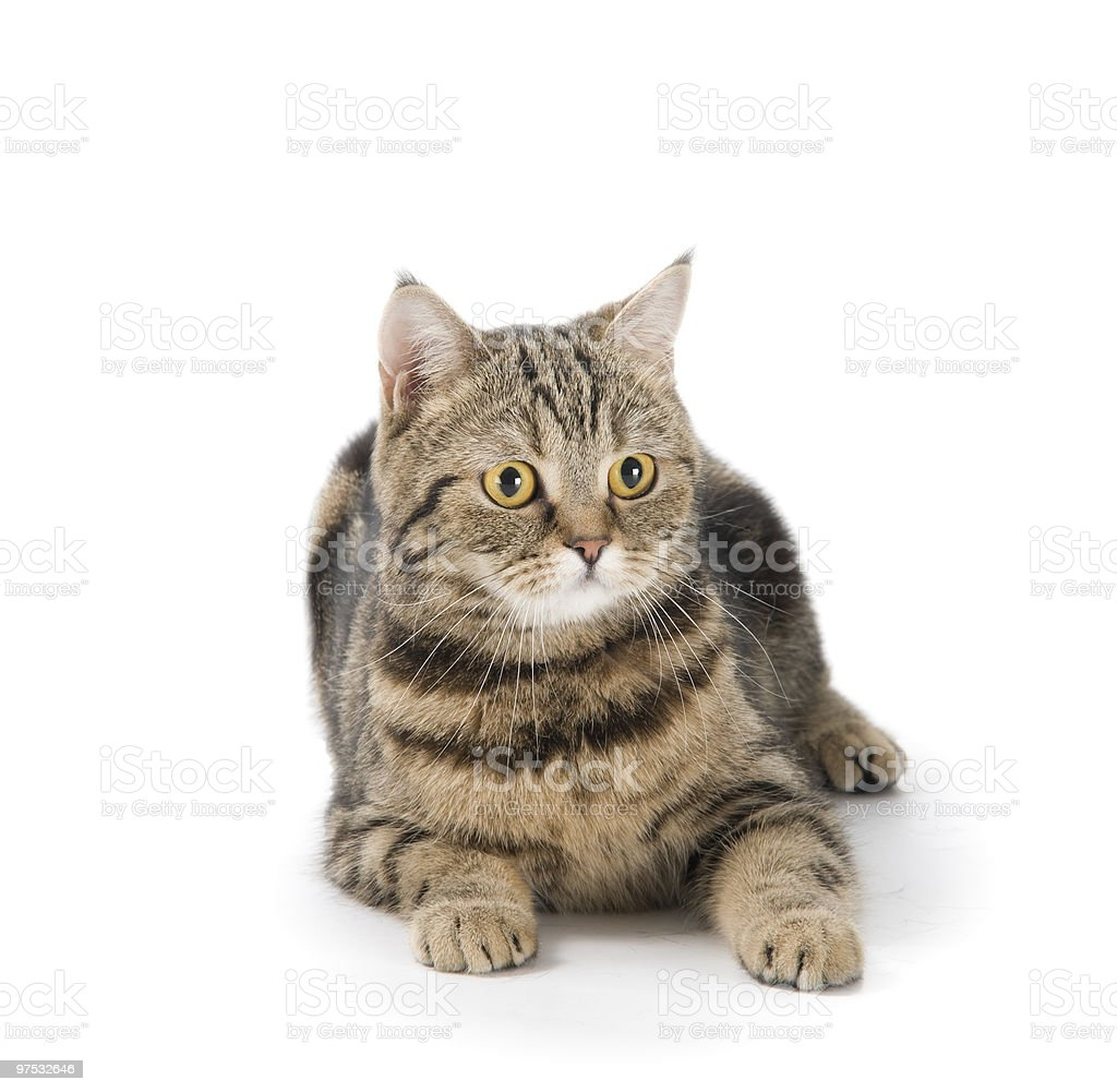 Cat lying on floor royalty-free stock photo