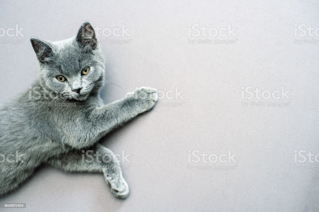 cat lying on grey background, stock photo