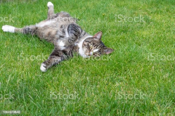 Cat lying on its back on grass picture id1064970640?b=1&k=6&m=1064970640&s=612x612&h=vazic6wukycmi5a9ccwmtftrtazg2eewvjknz53lrnq=