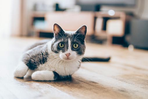 Cute cat lying on the floor in living room
