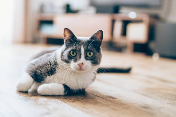 кошка, лежащая на паркете - cat стоковые фото и изображения