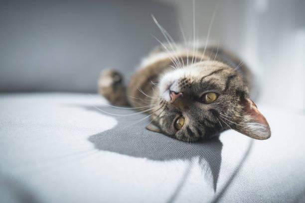Cat lying on sofa picture id1125395295?b=1&k=6&m=1125395295&s=612x612&w=0&h=3pznxva8pnz7mq umcdecoqtu75zgtataxykcgfkbga=