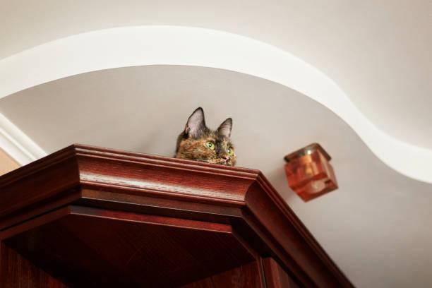 katze liegend auf dem schrank und beobachtete - katzenschrank stock-fotos und bilder