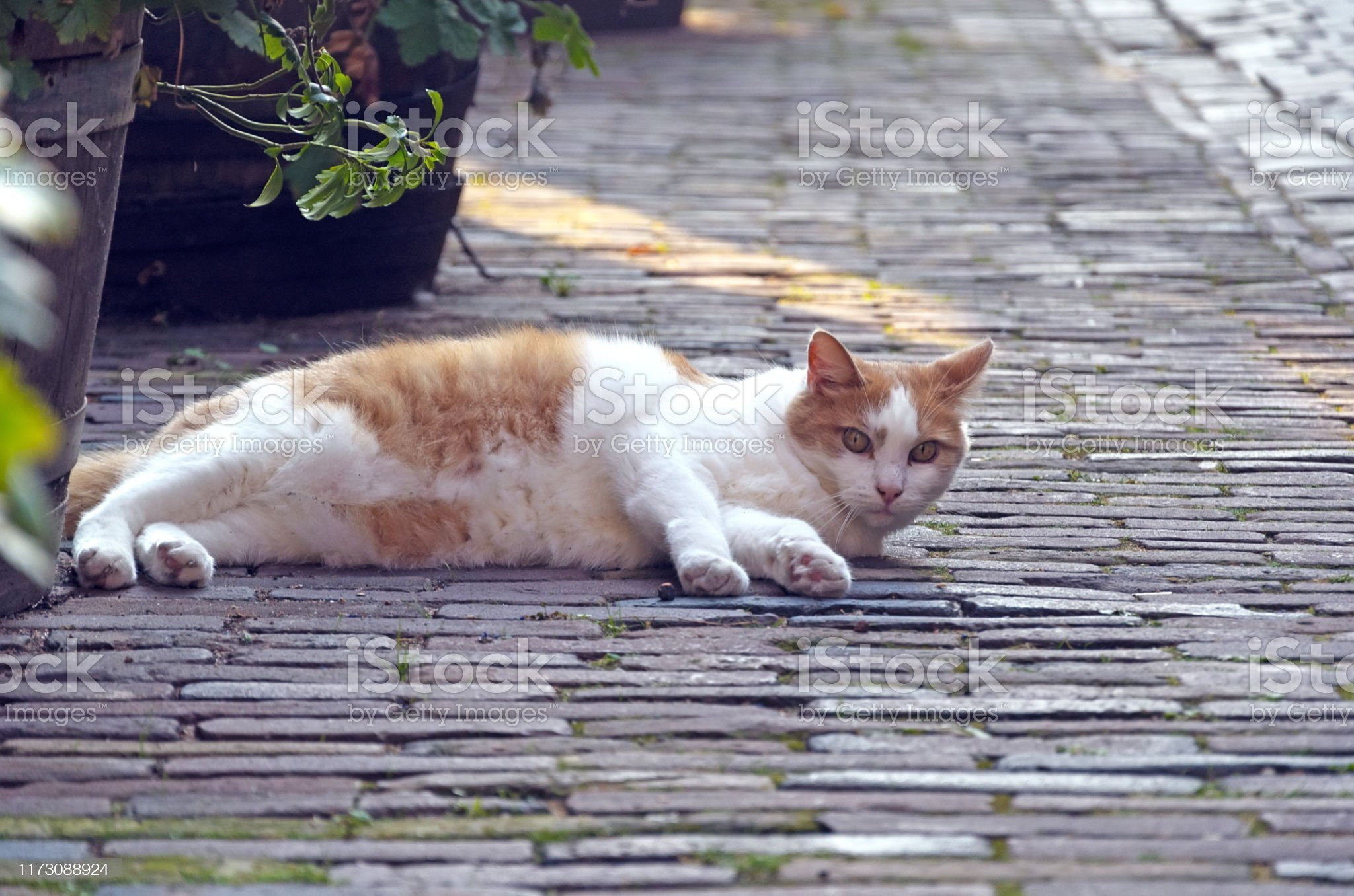 cat-lying-on-the-street-relax-and-looks-