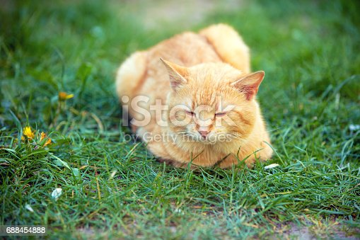 istock Cat lying outdoor on a grass 688454888