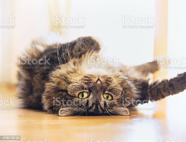 Cat lying relaxed on his back and looking into camera picture id476278130?b=1&k=6&m=476278130&s=612x612&h=eabdhk jciocrjstbg1c5adhrbuttkhusbzrcnrfqji=