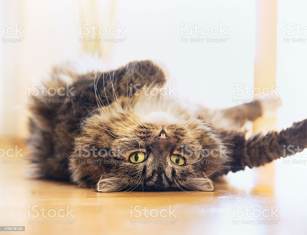 Cat lying relaxed on his back and  looking into camera stock photo