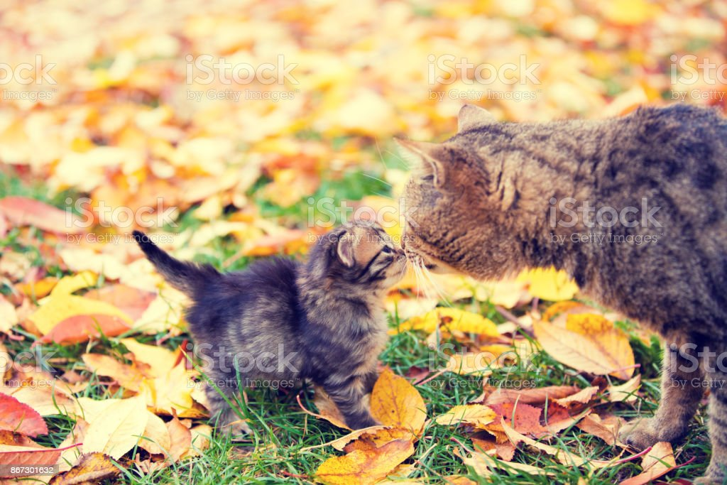 Cat mother and her little kitten sniff to each other outdoor in autumn stock photo