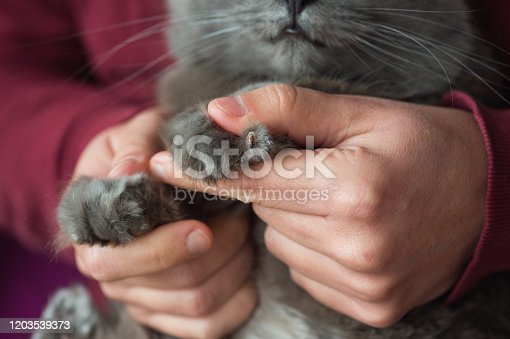 Paw of Chartreux cat with claw injury