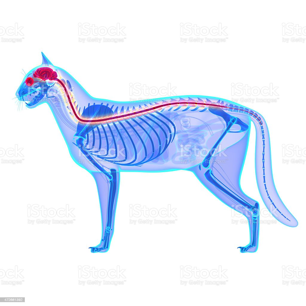 Cat Nervous System - Felis Catus Anatomy stock photo