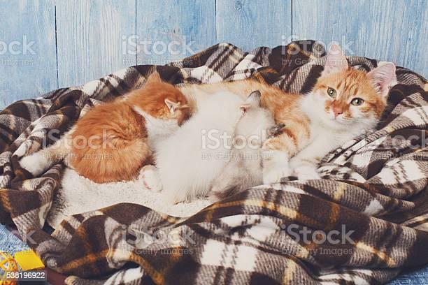 Cat nursing her little kittens at plaid blanket picture id538196922?b=1&k=6&m=538196922&s=612x612&h=0aig5r81eibwzeikvpyxc3bbuup9cqxtglqvzbp23mc=