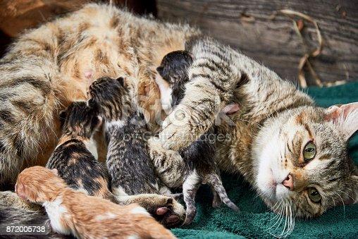 istock Cat nursing kittens 872005738