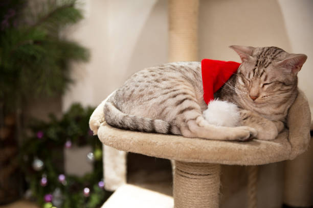 cat ocicat and christmas  red hat, peacefully sleeping on his own place. - ocicat foto e immagini stock