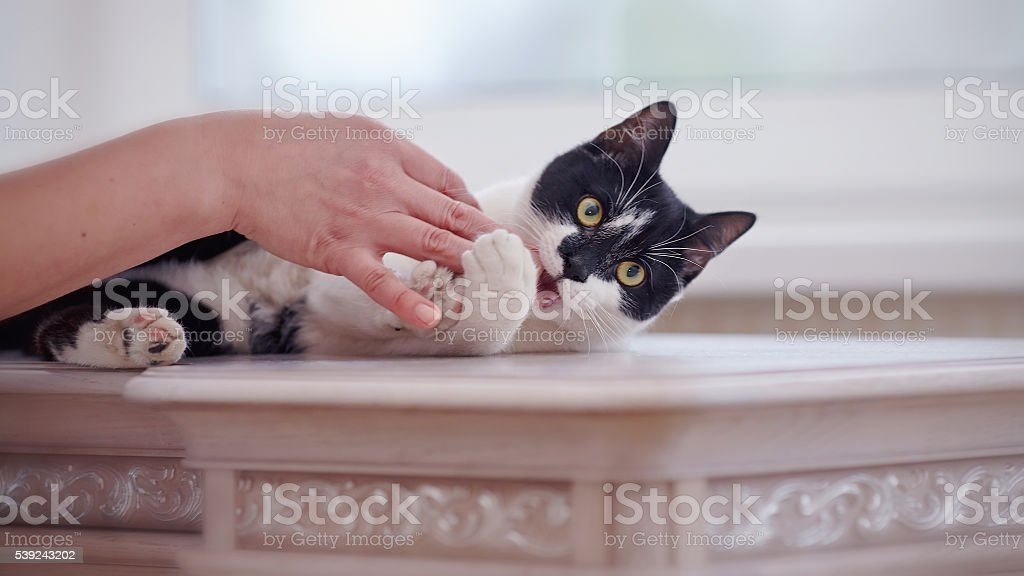 Cat of a black-and-white color plays with a hand royalty-free stock photo