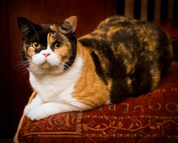 Cat on a cushion stock photo