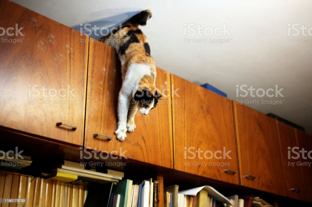A Cat on a Home Library Playful cat jumps from a high home library cabinet. Book Stock Photo