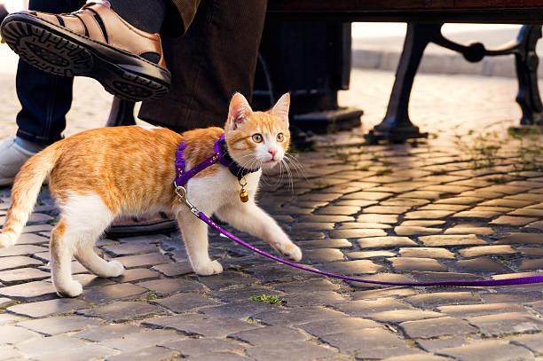 кошка на поводке - котик яркий стоковые фото и изображения