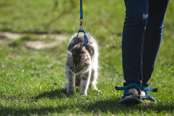 cat on a leash - cat leash stock photos and pictures