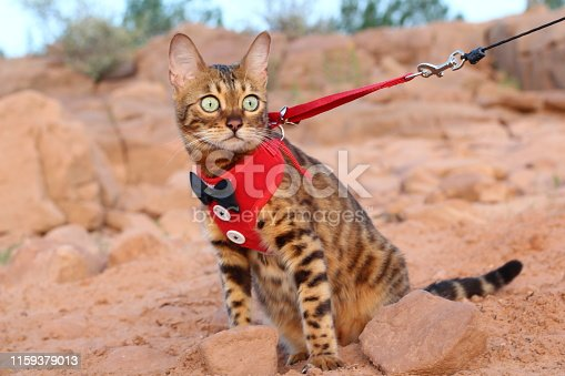 Cat on a leash with a fancy outfit.